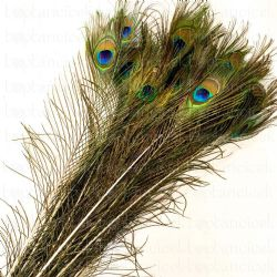 A PEACOCK FEATHERS  (İthal-10dal-120cm)