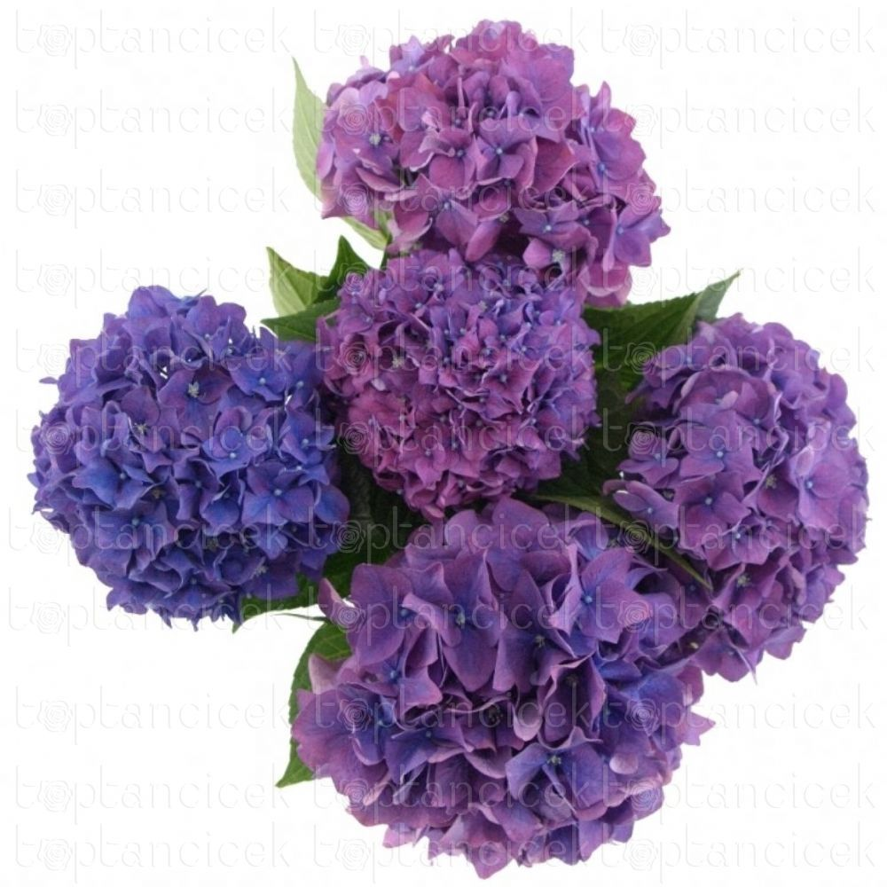 İthal Ortanca |  CZ HYDRANGEA M RODEO PAARS  (İthal Ortanca - 5 dal-60cm) |